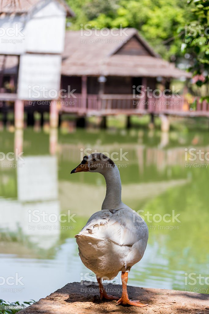 Grey goose in Celle stock photo