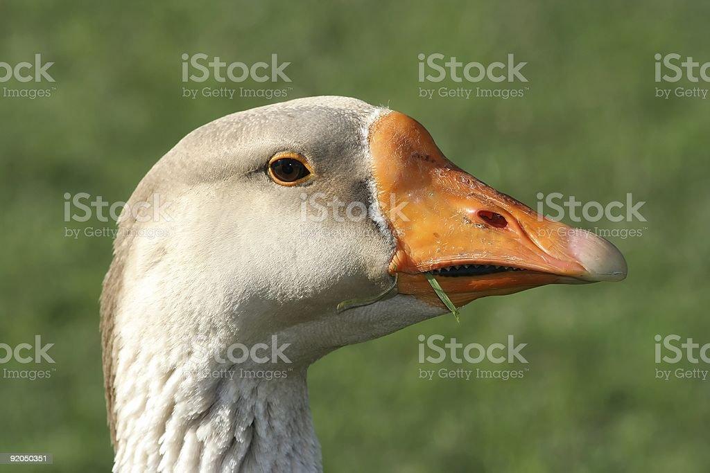 Grey Goose Portrait royalty-free stock photo