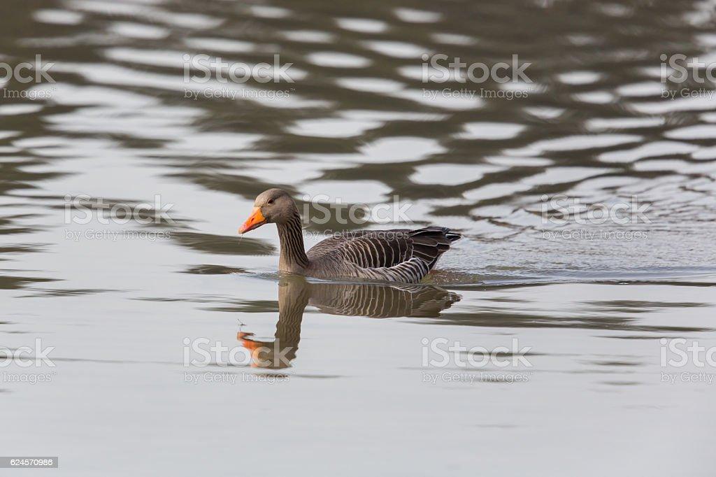 grey goose (anser anser) swimming stock photo