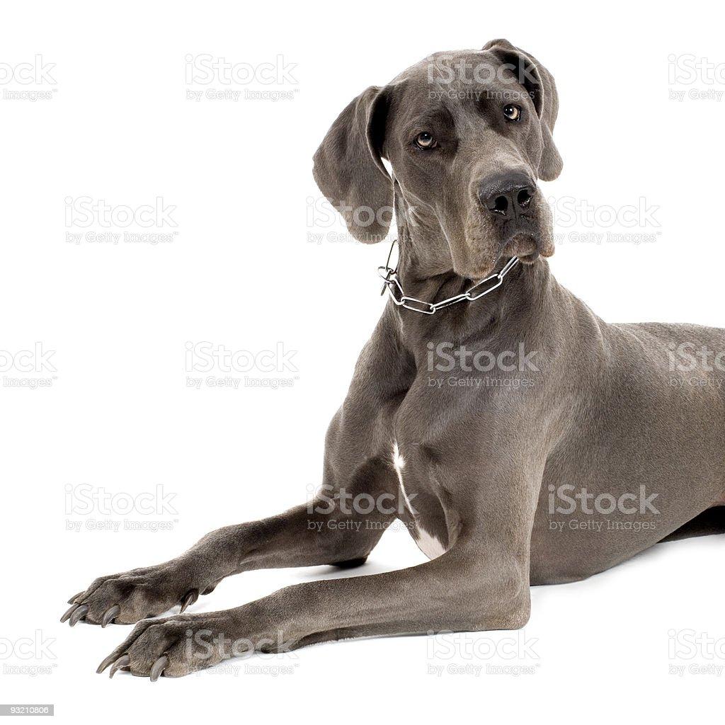 Grey Great Dane stock photo