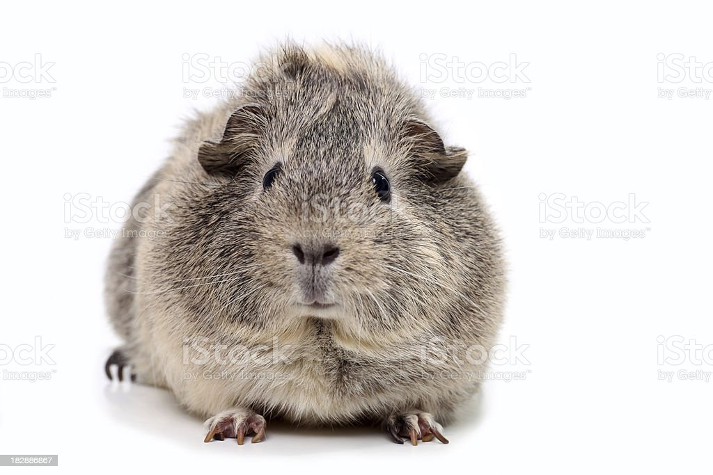 Grey guinea pig isolated on white stock photo
