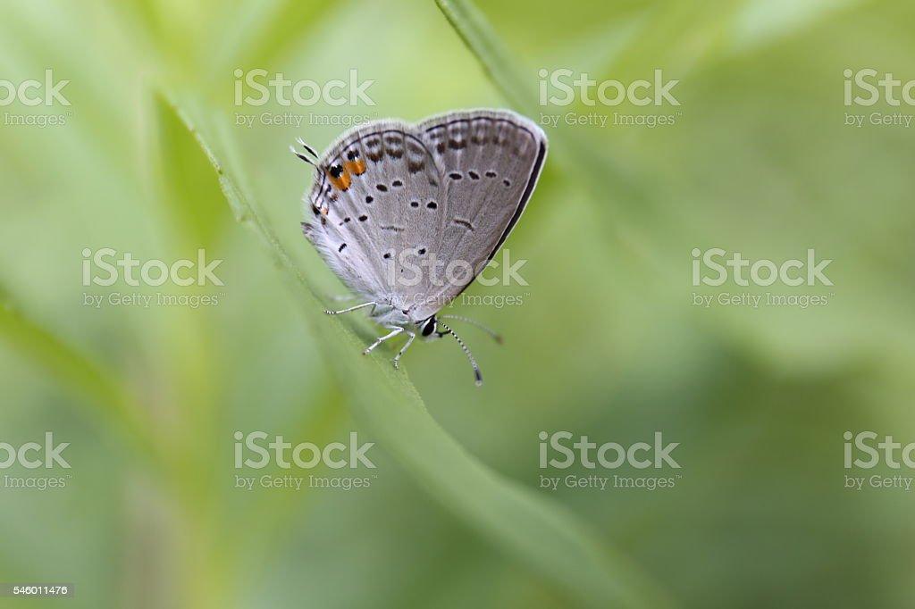 Grey Hairstreak Butterfly stock photo
