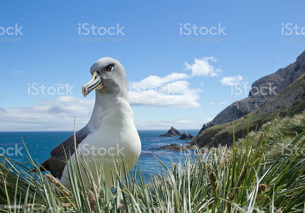 Grey headed albatross sitting on nest stock photo