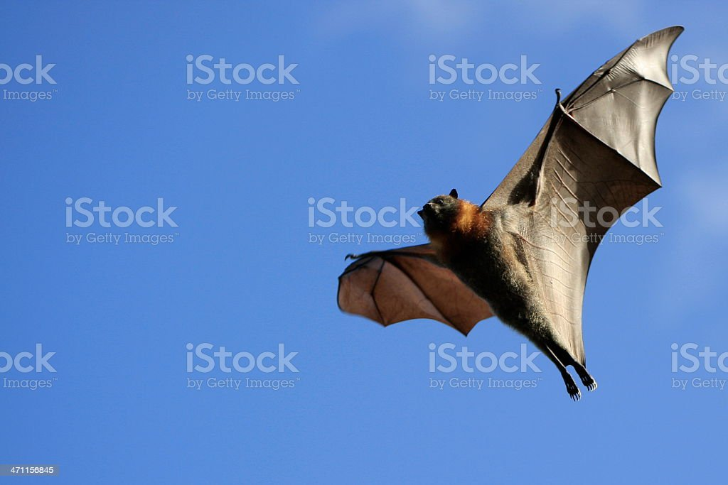 Grey Headed Flying Fox stock photo
