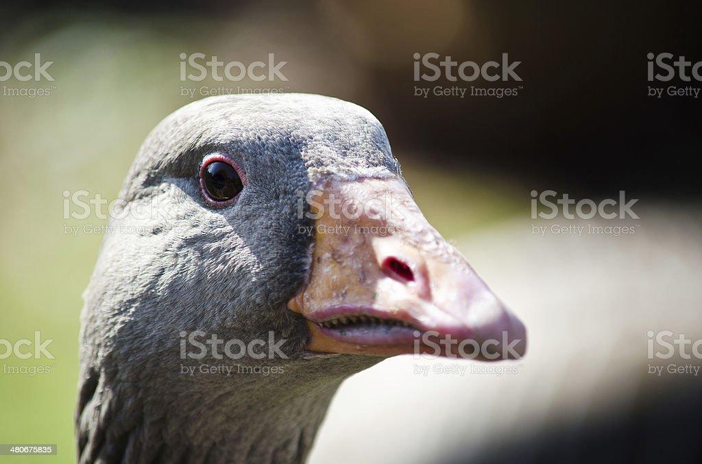 Grey headed goose head stock photo