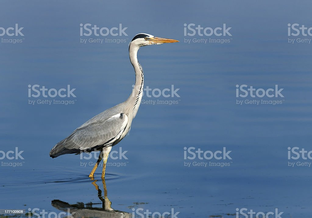 Grey Headed Heron zbiór zdjęć royalty-free