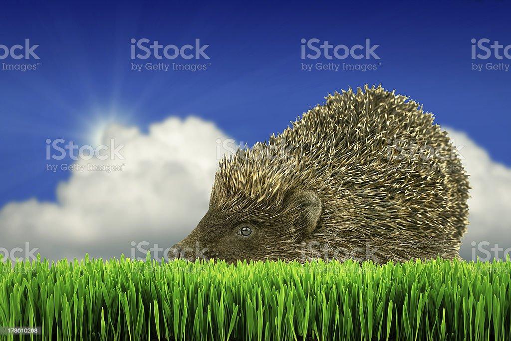 Gris hérisson sur l'herbe photo libre de droits