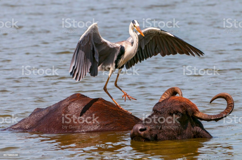 Grey heron and Asian water buffalo. stock photo