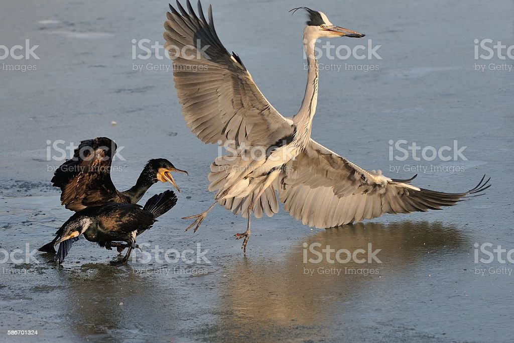 Grey Heron and cormorants on the ice stock photo