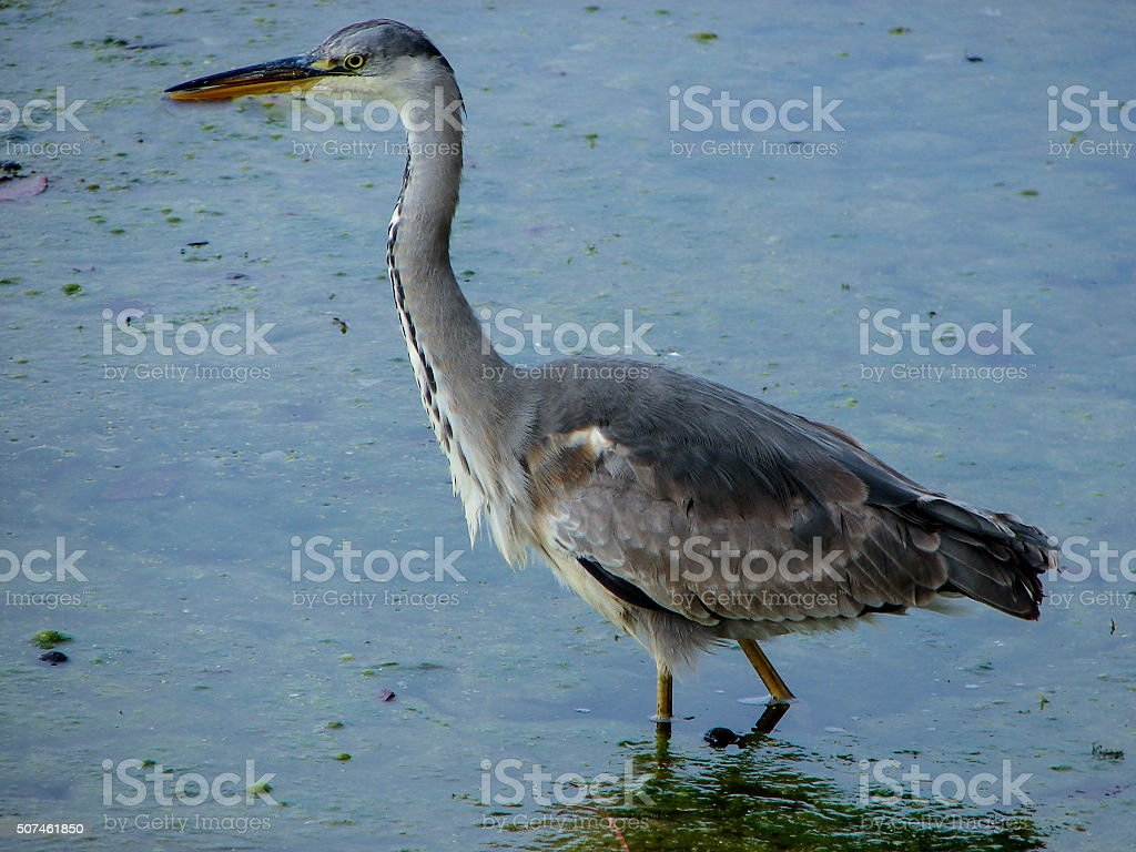 Grey Heron, Ardea cinerea, fishing in lake royalty-free stock photo