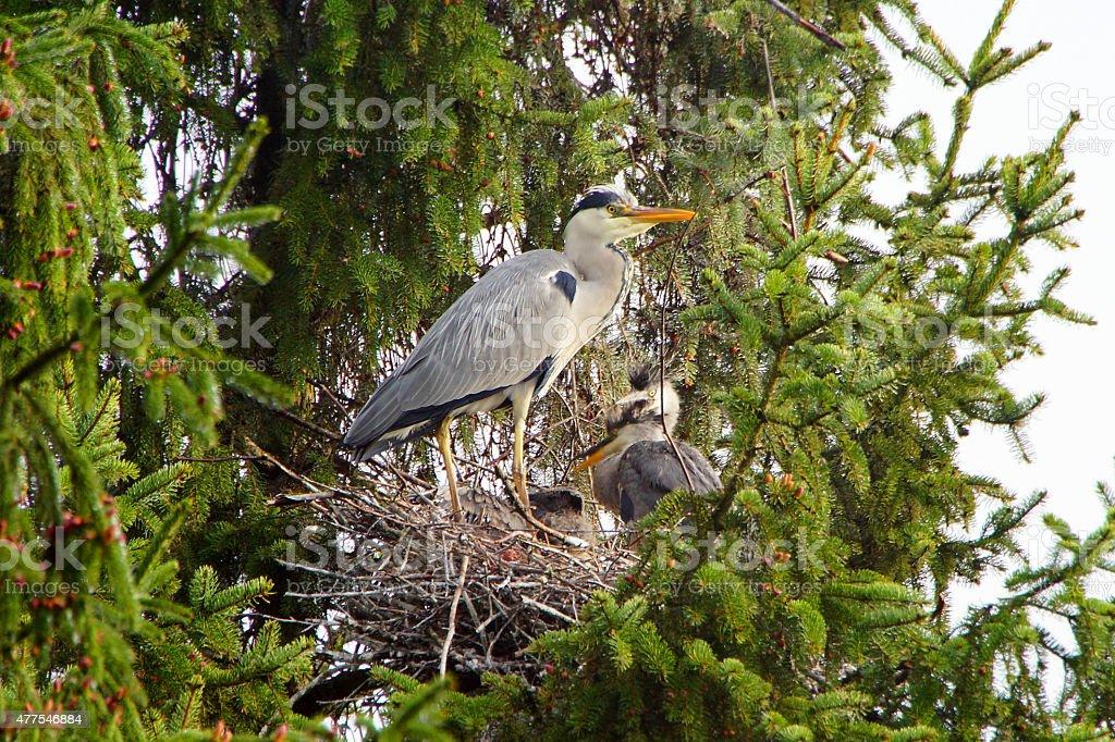 Grey Heron bird´s nest in Nature stock photo