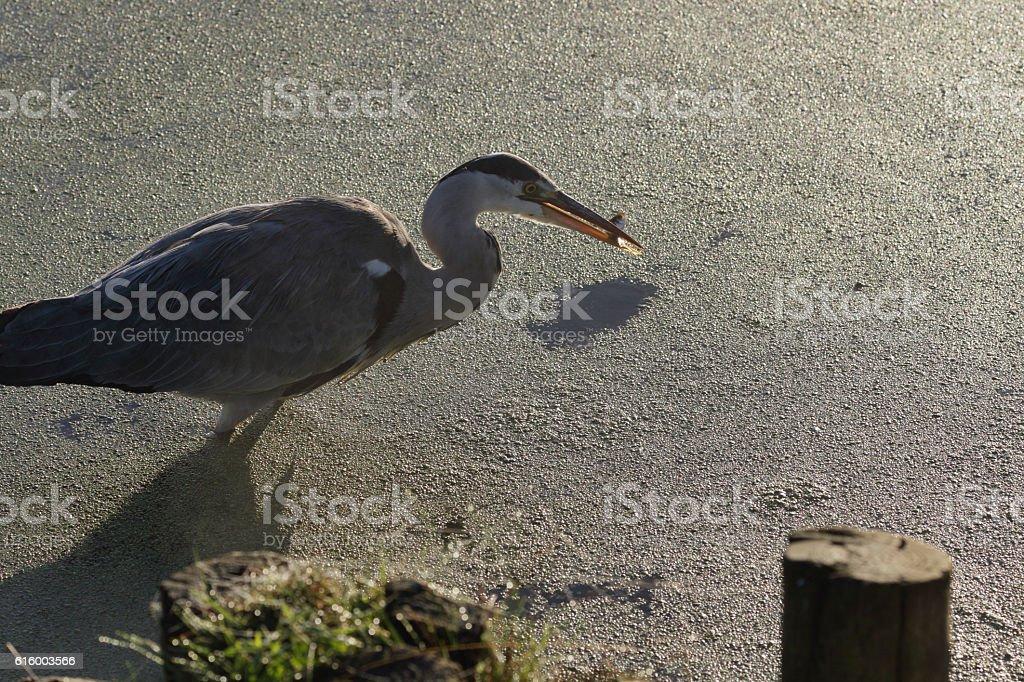 Grey heron caught fish in beak stock photo