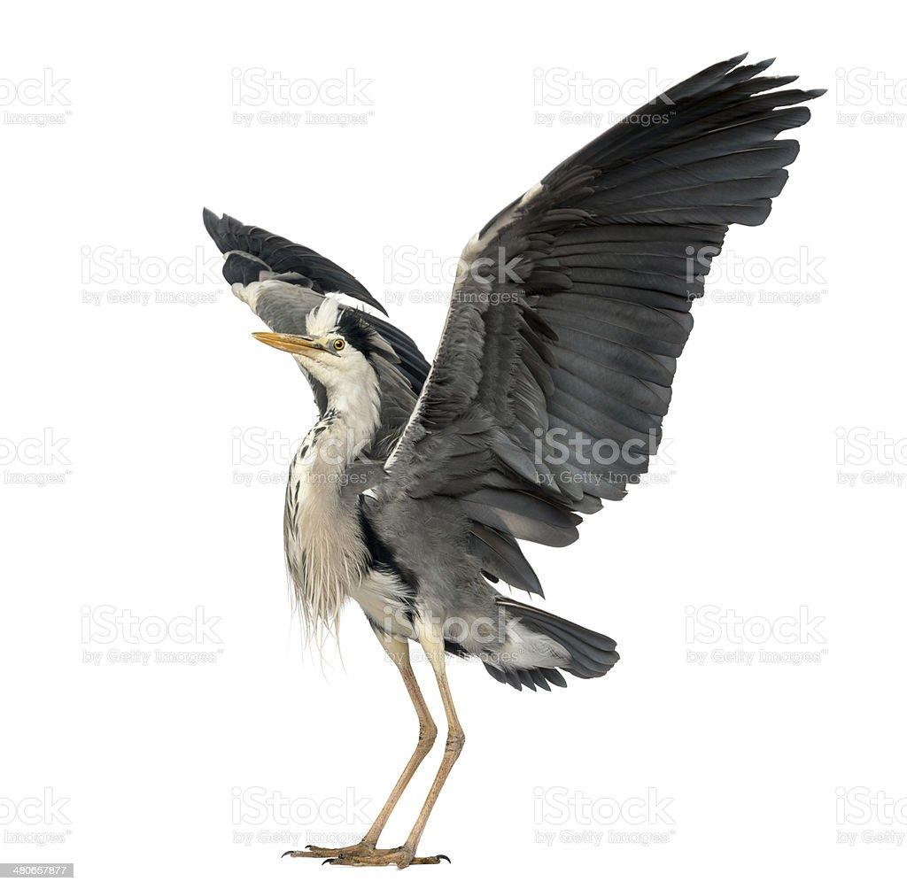Grey Heron doing a mating dance, Ardea Cinerea stock photo