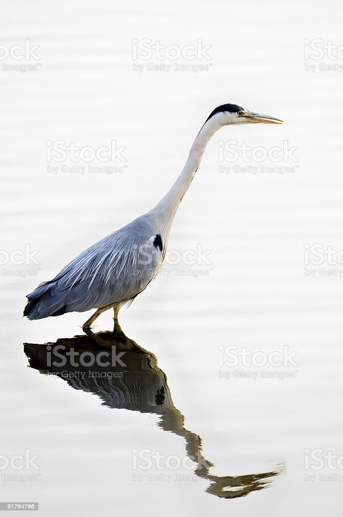Grey Heron (ardea cinerea)  fishing, London, England, UK royalty-free stock photo