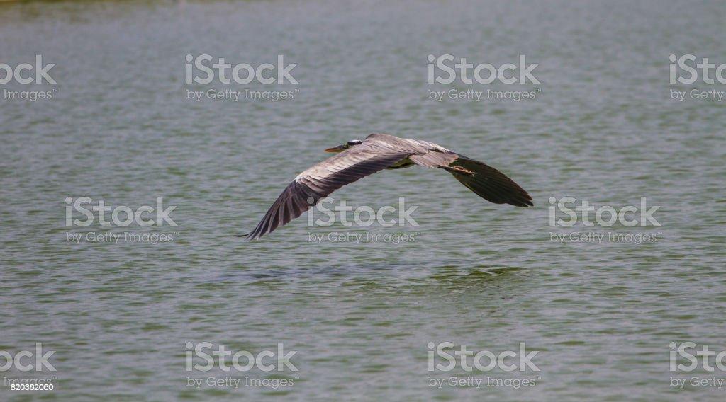 Grey heron fly over lake stock photo