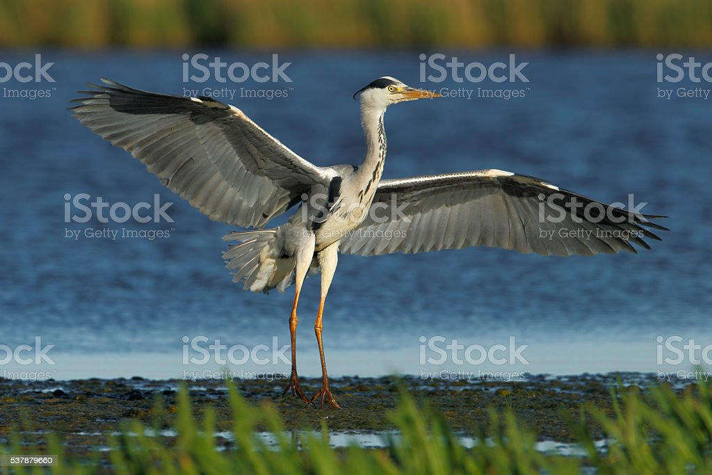 Grey heron (Ardea cinerea) flying in for landing, the Netherlands stock photo