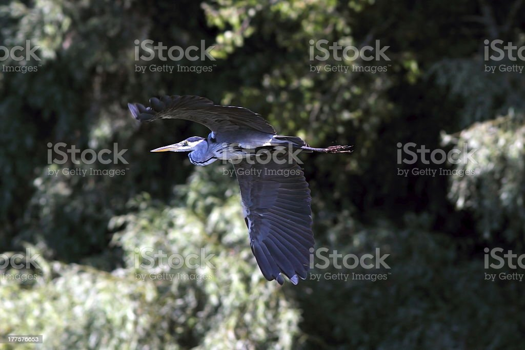 grey heron flying near the forest royalty-free stock photo