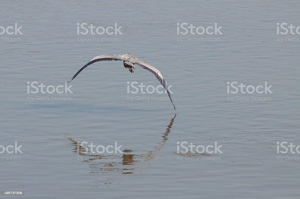 grey heron (Ardea cinerea) flying on water surface stock photo