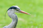 Grey heron head portrait