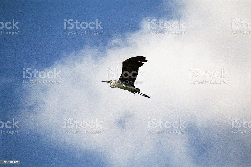 Grey heron in flight. Astrakhan region, Russia. stock photo