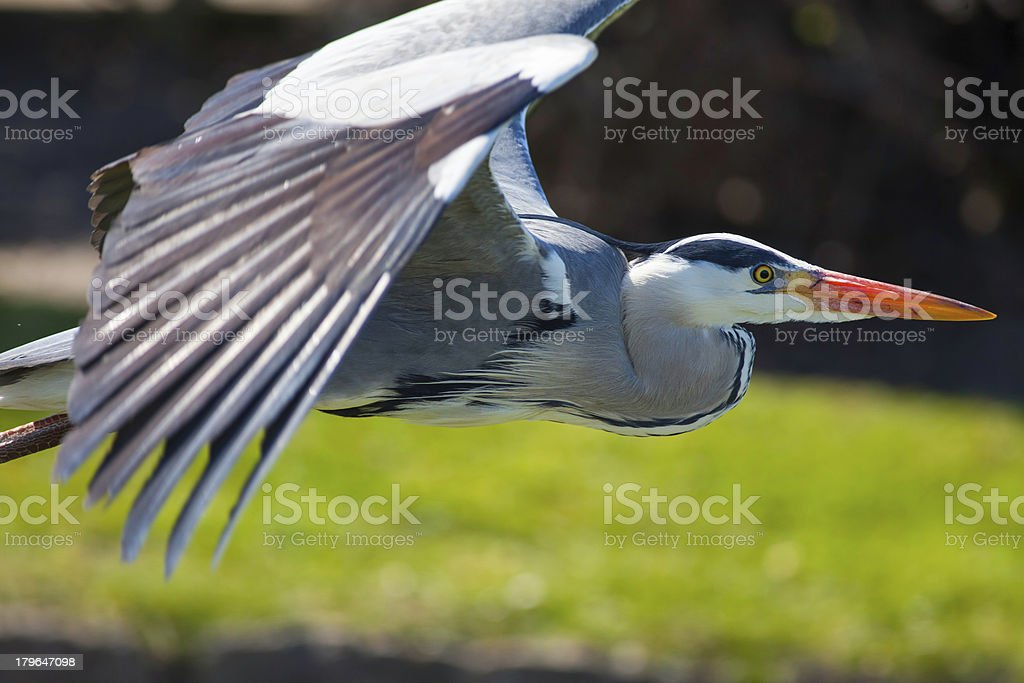 Grey Heron in Flight royalty-free stock photo
