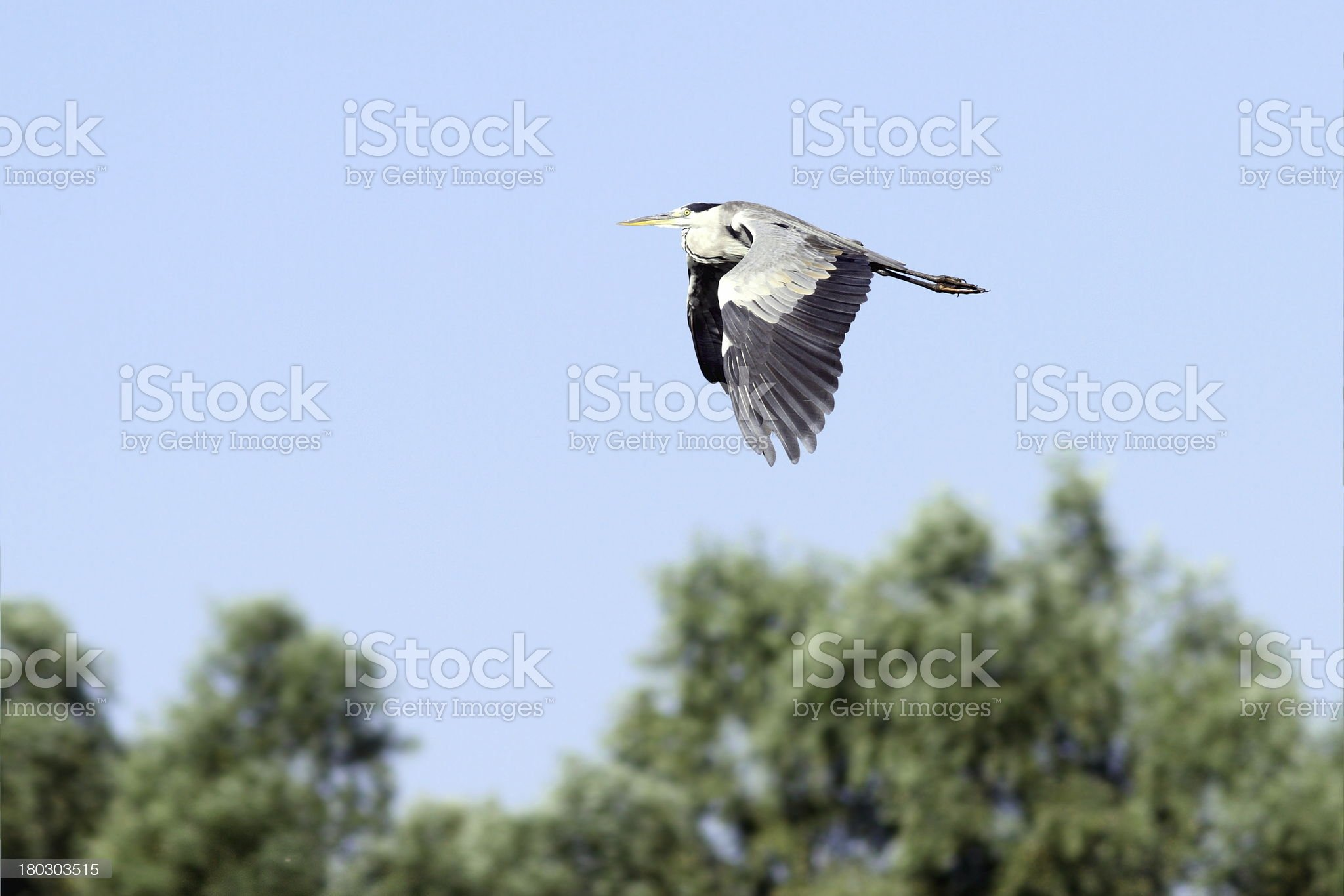 grey heron in flight royalty-free stock photo