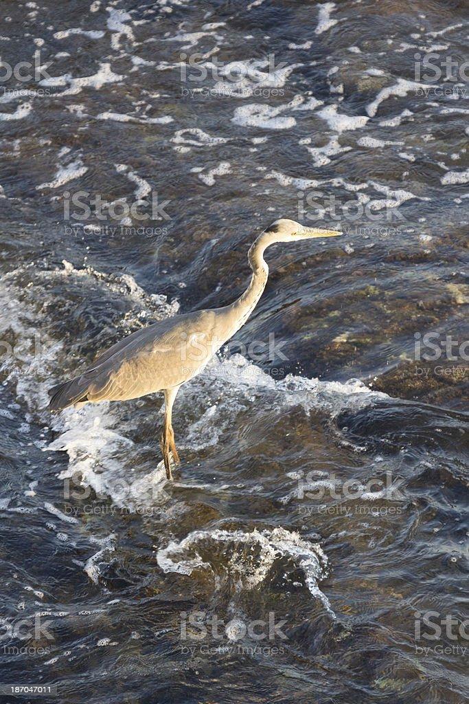 Grey Heron in Liguria, Italy royalty-free stock photo