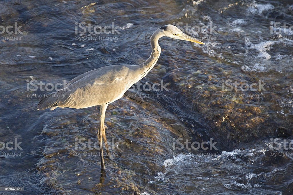 Grey Heron in Liguria, Italy royalty-free stock photo