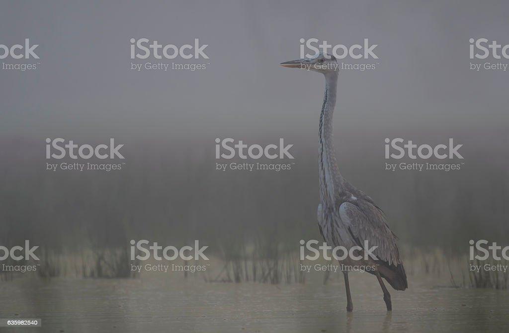 Grey heron in misty morning stock photo