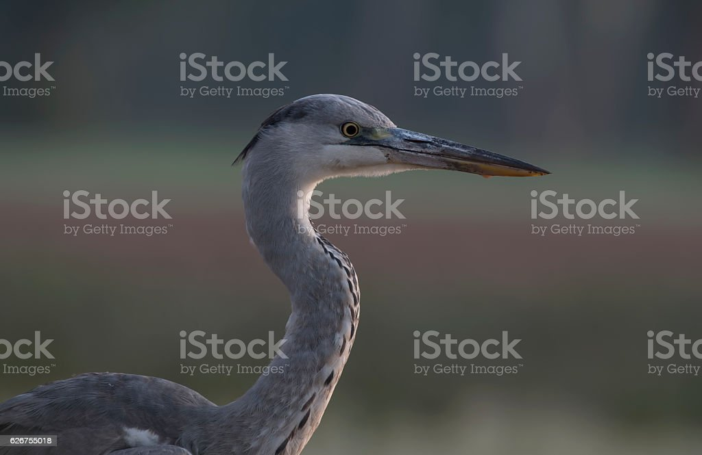 Grey heron in  national park, stock photo