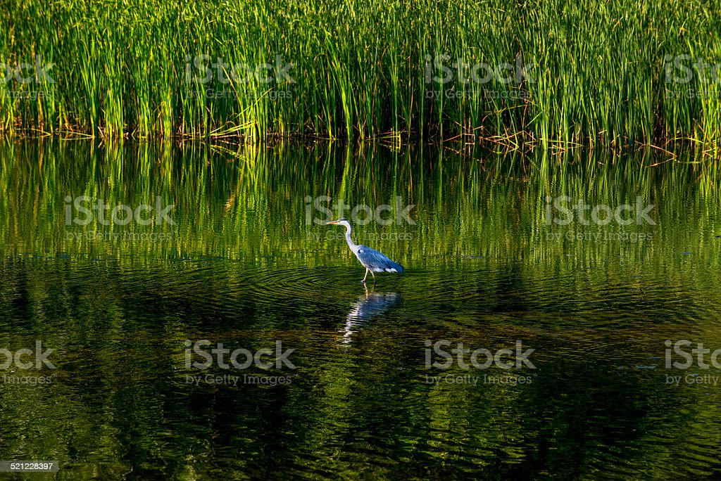 Grey heron (Ardea cinerea) in water with reflection stock photo