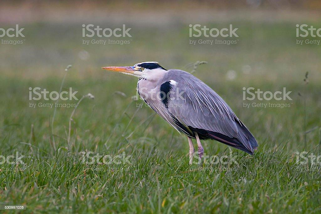 Grey heron (Ardea cinerea) on the meadow stock photo