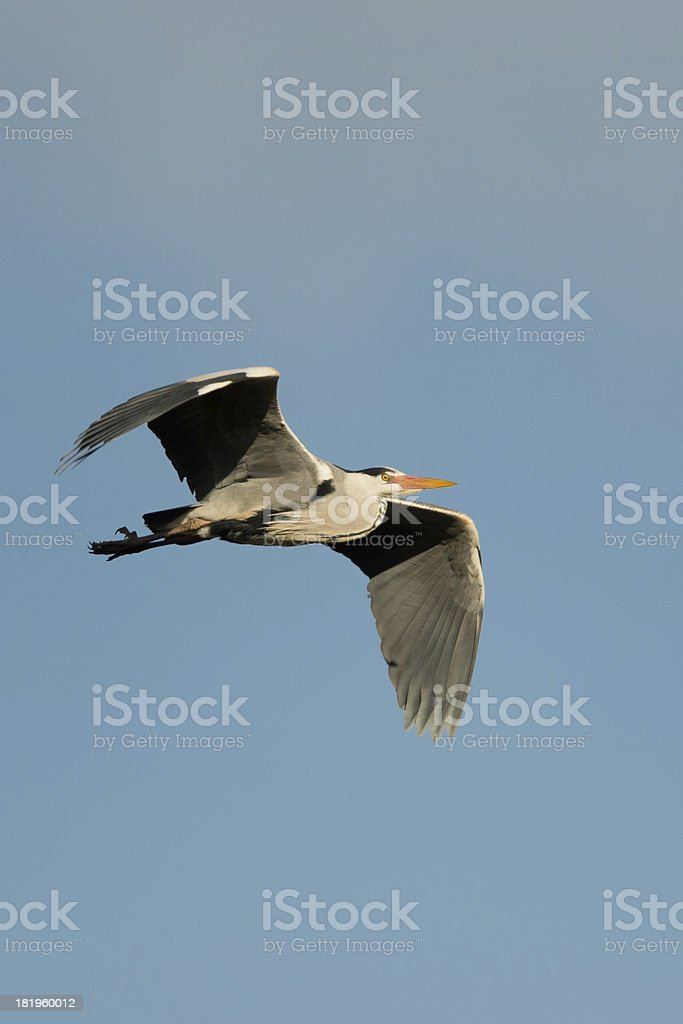 Grey Heron over Somerset royalty-free stock photo