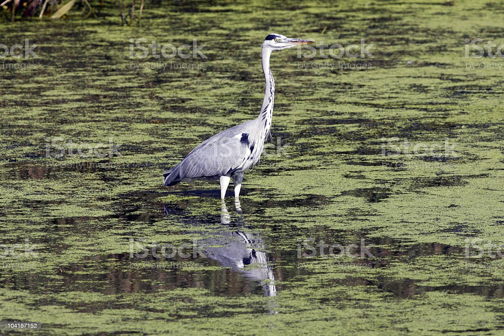 Grey heron royalty-free stock photo