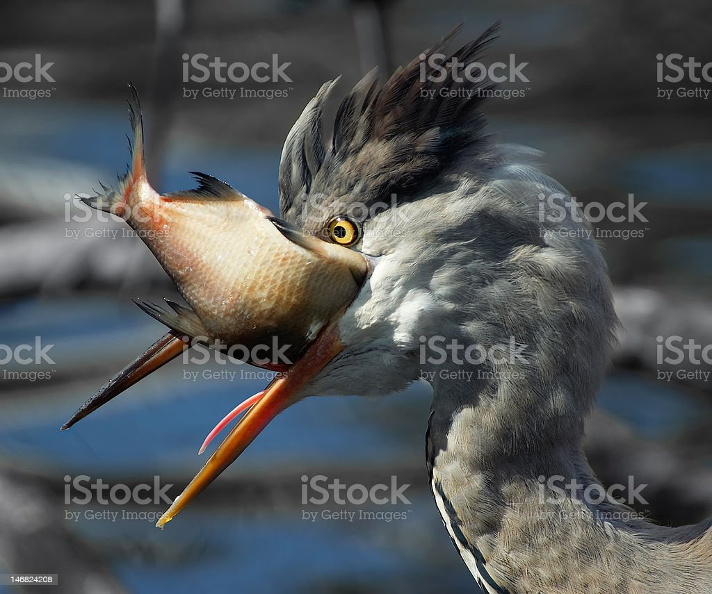 Grey Heron (Ardea cinerea) royalty-free stock photo