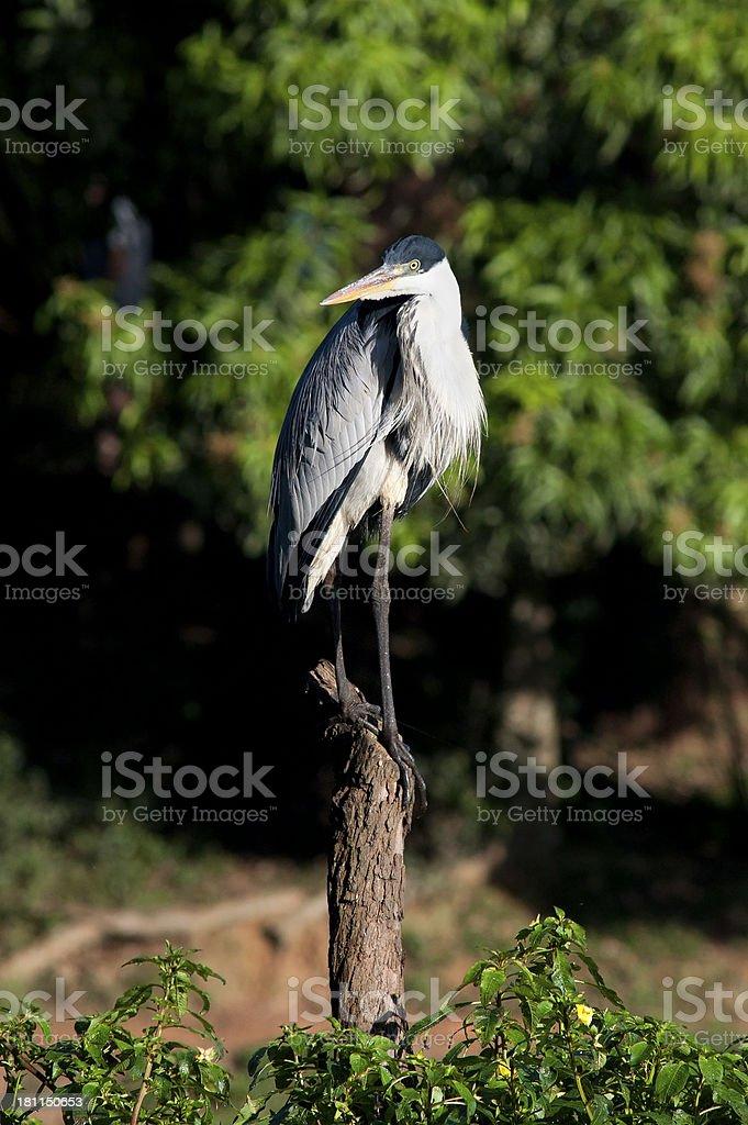 Grey Heron royalty-free stock photo