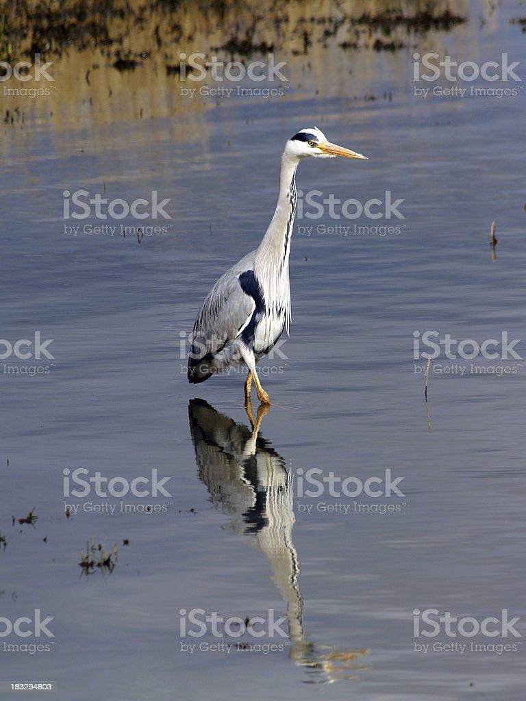 Grey Heron (Ardea cinerea) royalty-free stock photo
