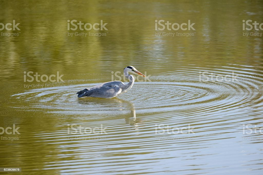 Grey heron. stock photo