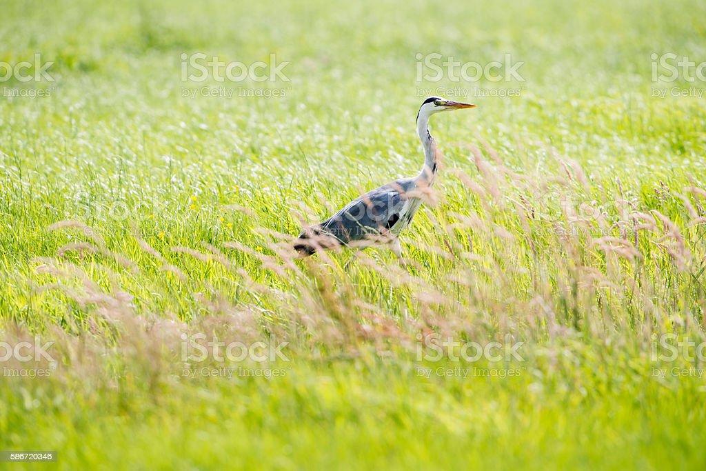 Grey Heron (Ardea cinerea) sideview in grass. Leiden. Zuid-Holland stock photo