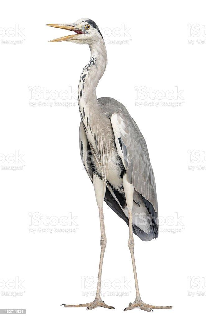 Grey Heron standing, beak opened, Ardea Cinerea, 5 years old stock photo
