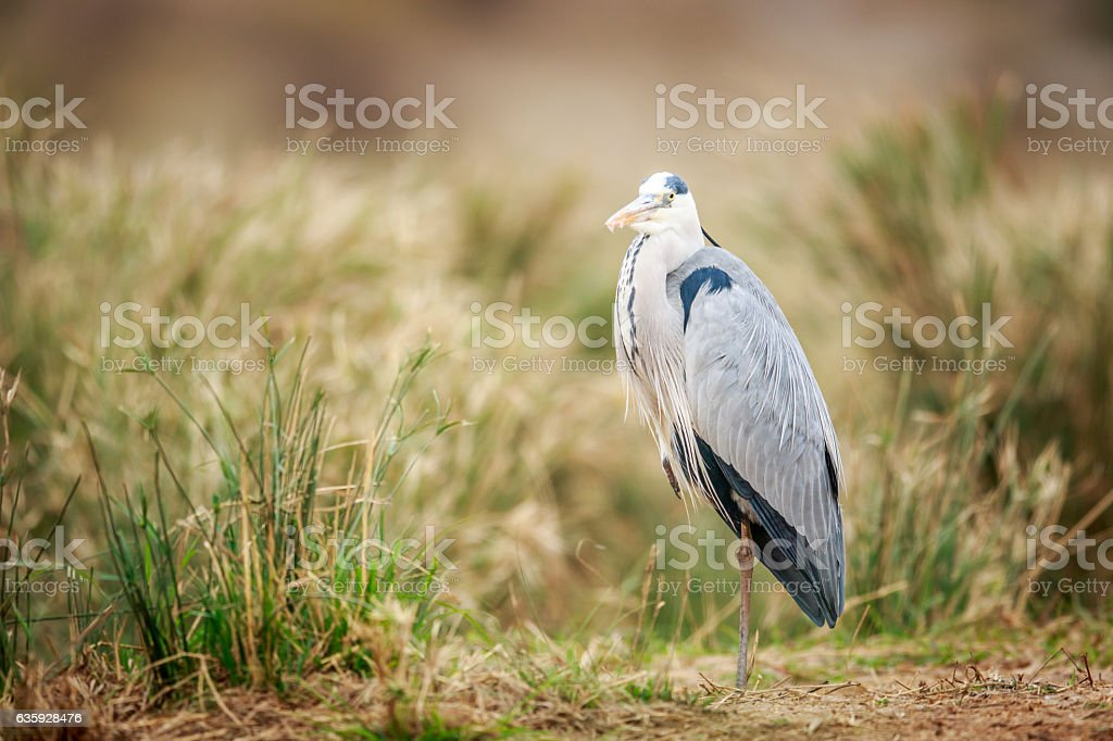 Grey heron standing in the sand. stock photo