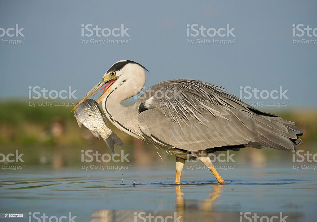 Grey heron standing in the water stock photo