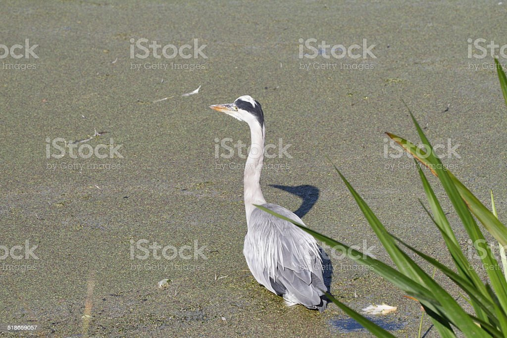 Wading heron alert while fishing stock photo