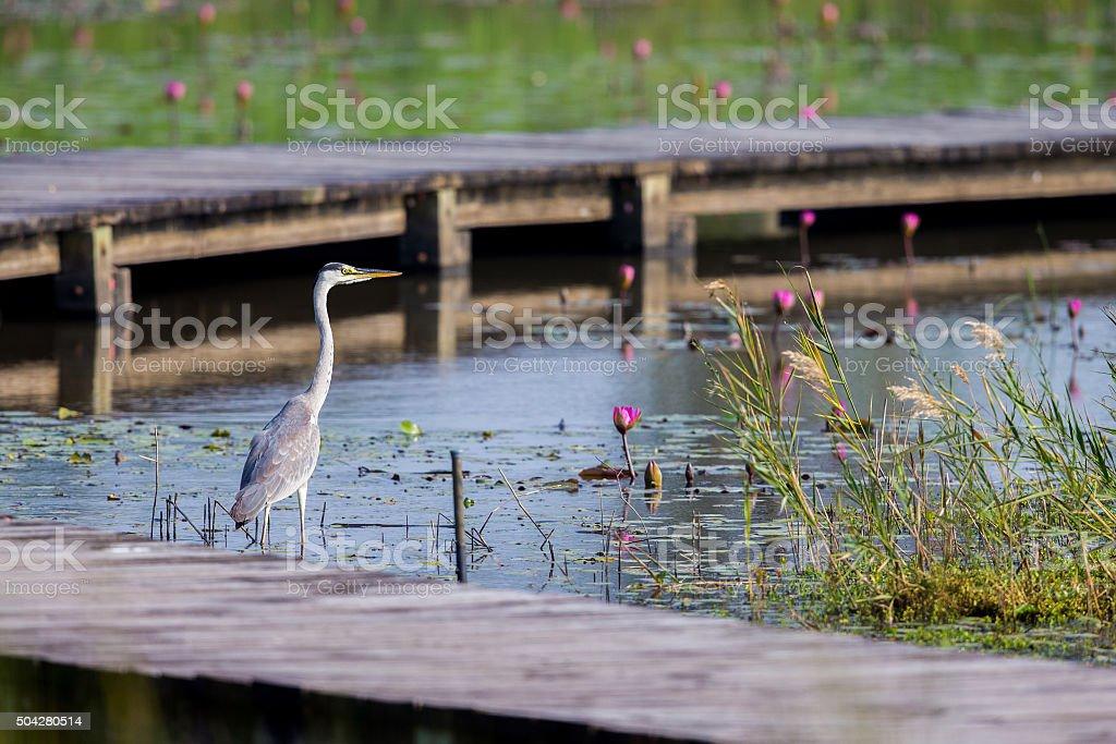 Grey Heron with lotus stock photo