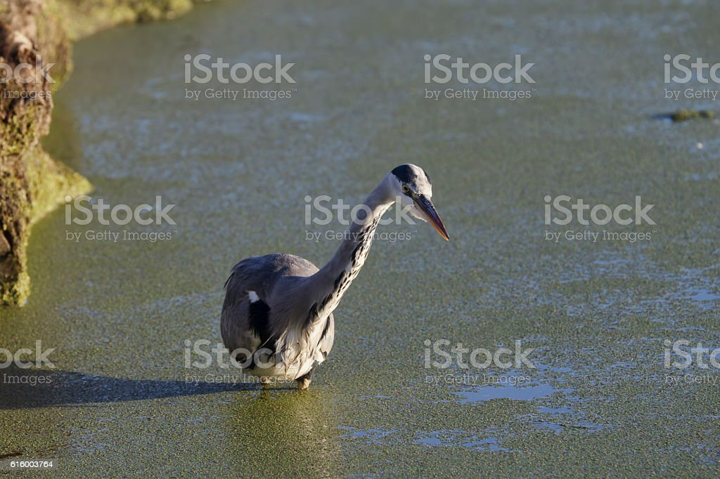 Grey heron is shadowed and reflected fisherman stock photo