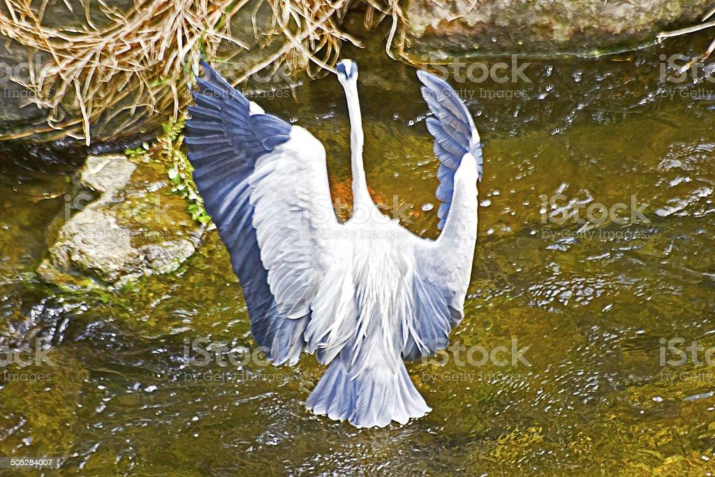 Grey Heron's Flapping stock photo
