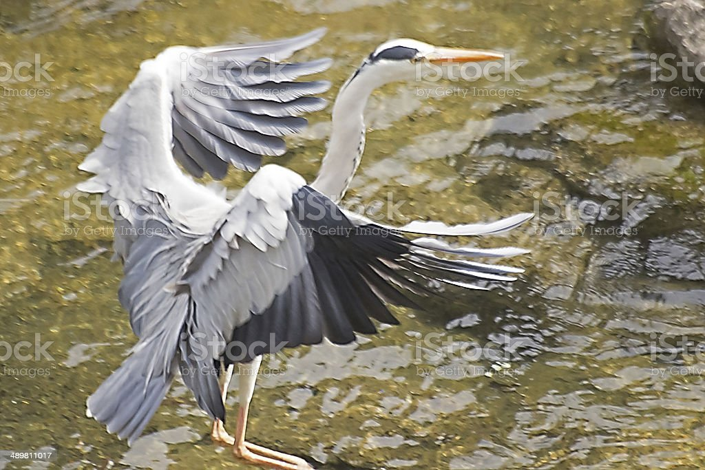 Grey Heron's Landing Motion. stock photo