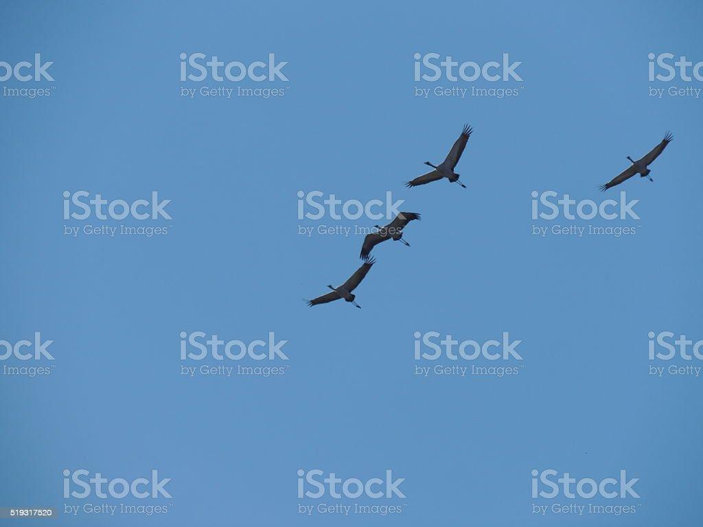 Grey Herons stock photo