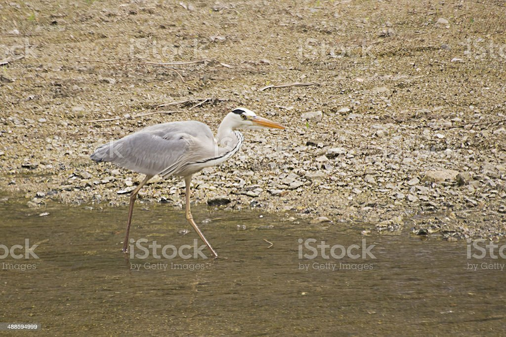 Grey Heron's Searching Feeds at the Stream. stock photo