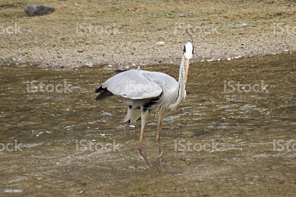 Grey Heron's Seeking. stock photo
